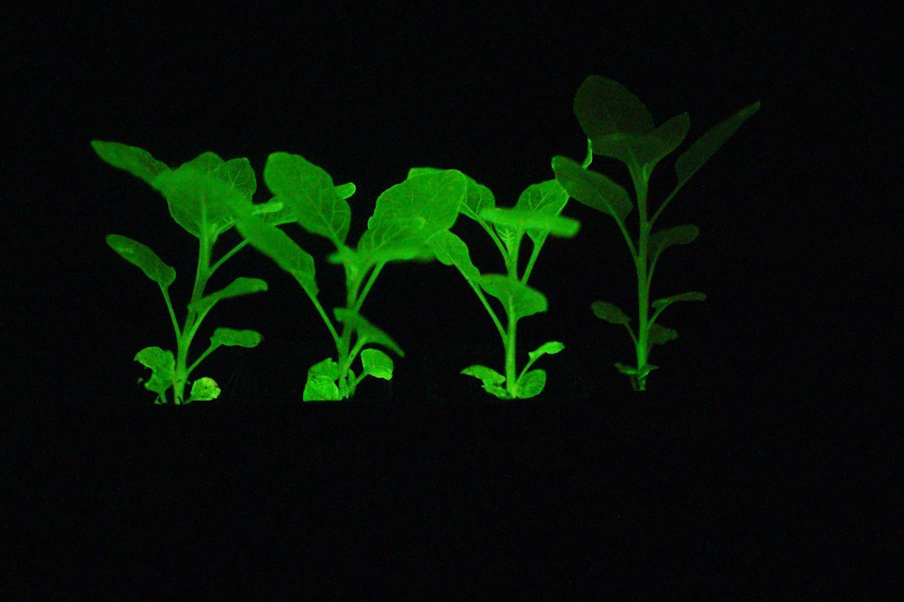Bioluminescent plants